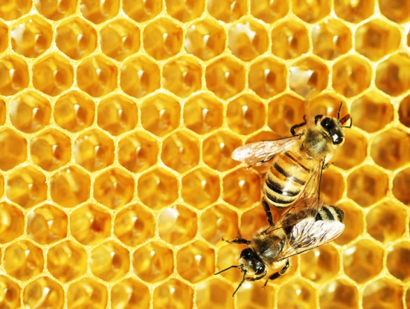 honey-bee-food-colony-collapse